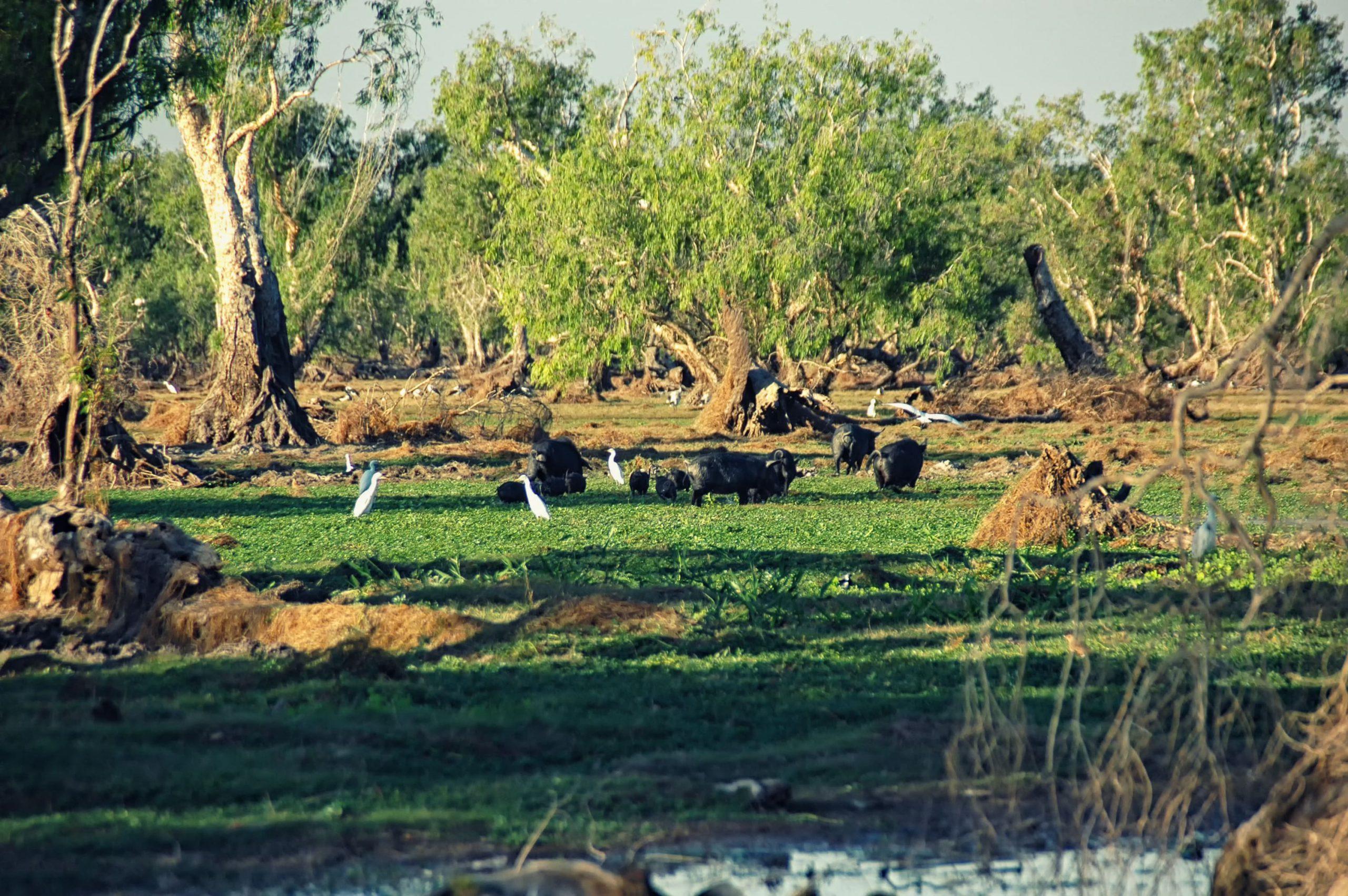 Water Buffalos at Bamurru Plains Lodge