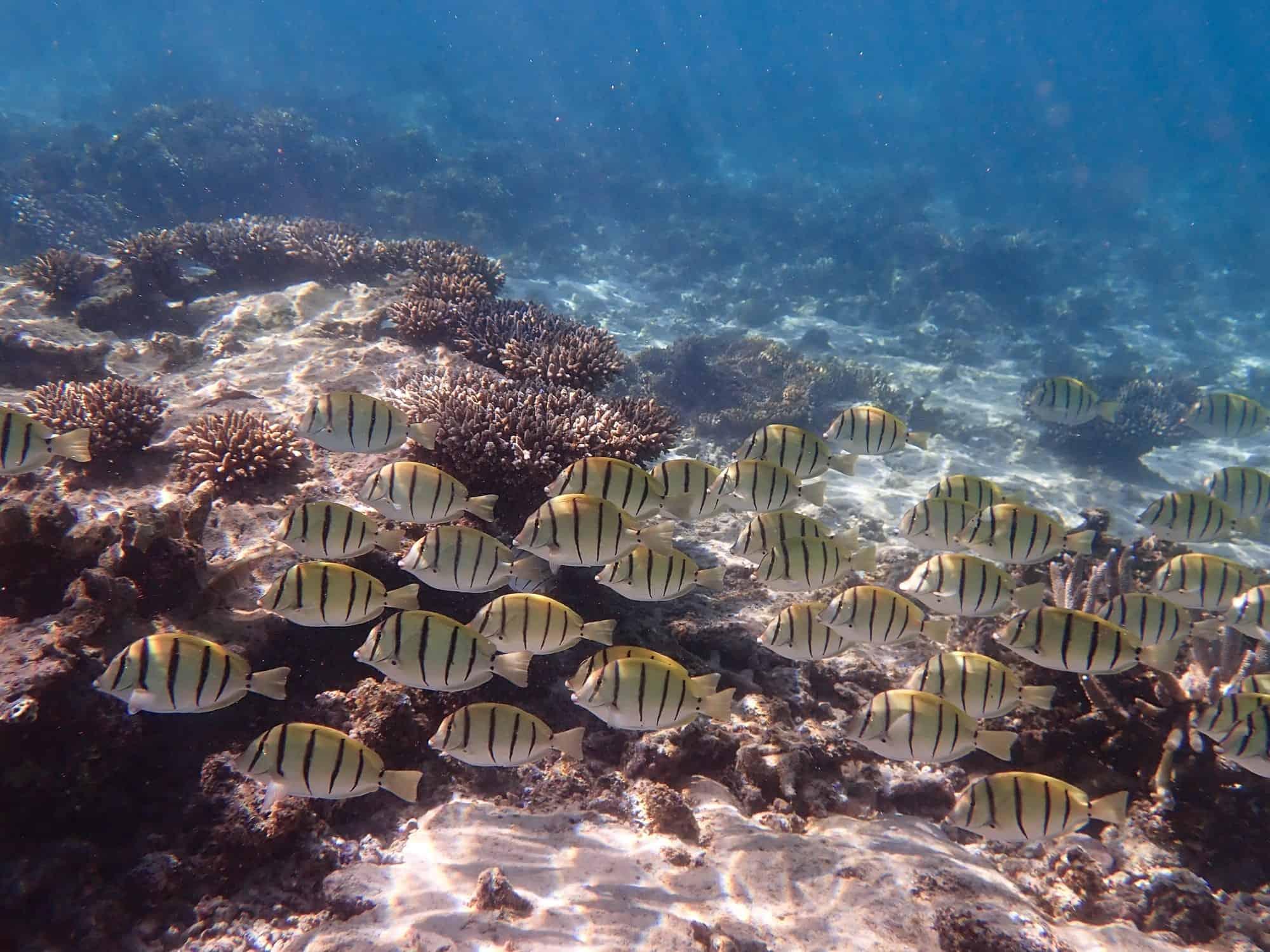 School of convict surgeon fish swimming Ningaloo Reef